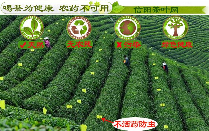 信阳毛尖茶叶生物防虫图片