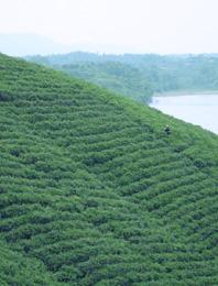 信阳毛尖茶山图片